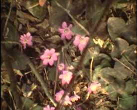 Fleurs des Hautes-Alpes