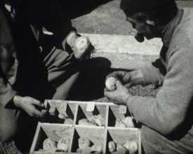 Sélection de la pomme de terre