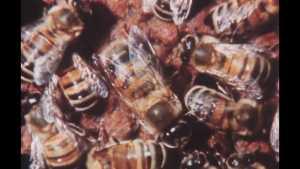 Une caméra chez les abeilles