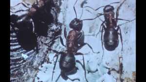Un espion chez les fourmis