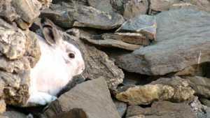 Suivi du lièvre variable dand le Parc national des Ecrins (Le)