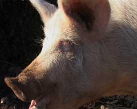 Cérémonie du cochon (La)