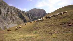 Loups et moutons, des solutions